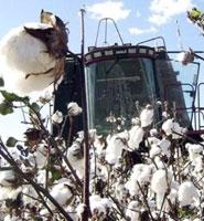 O algodão é quem mais ordena